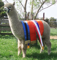 Alpaca with 14.5 micron fleece